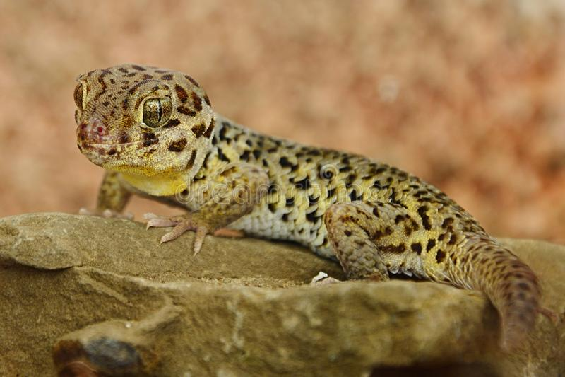 西藏青蛙注视壁虎今后站立在砌石护面的Teratoscincus roborowskii 免版税库存照片