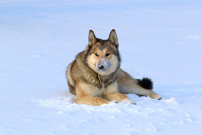西西伯利亚laika 休息在雪的猎犬 免版税库存照片