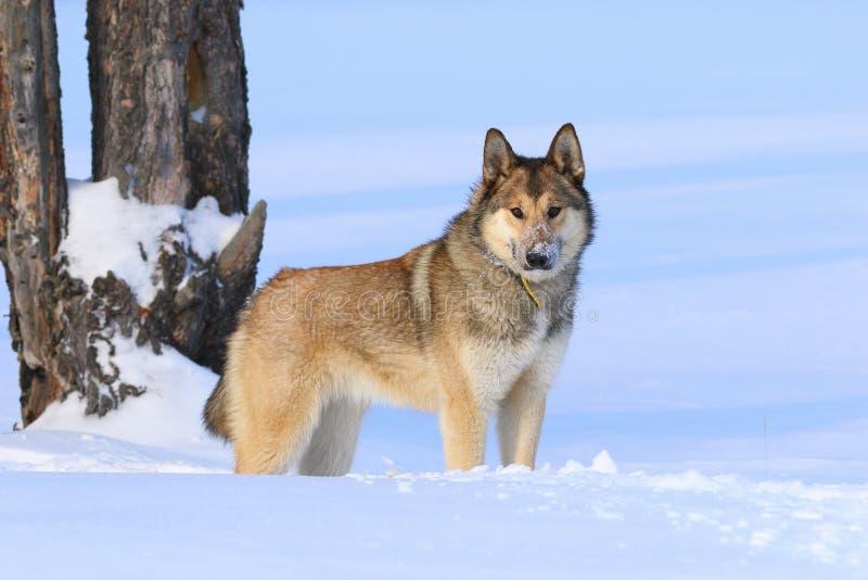 西西伯利亚laika 狗冬天在森林里 库存图片