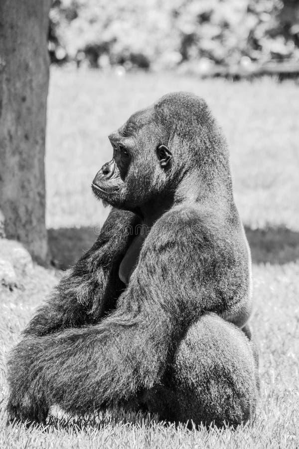 西部凹地大猩猩在草坐晴天B&W 库存图片