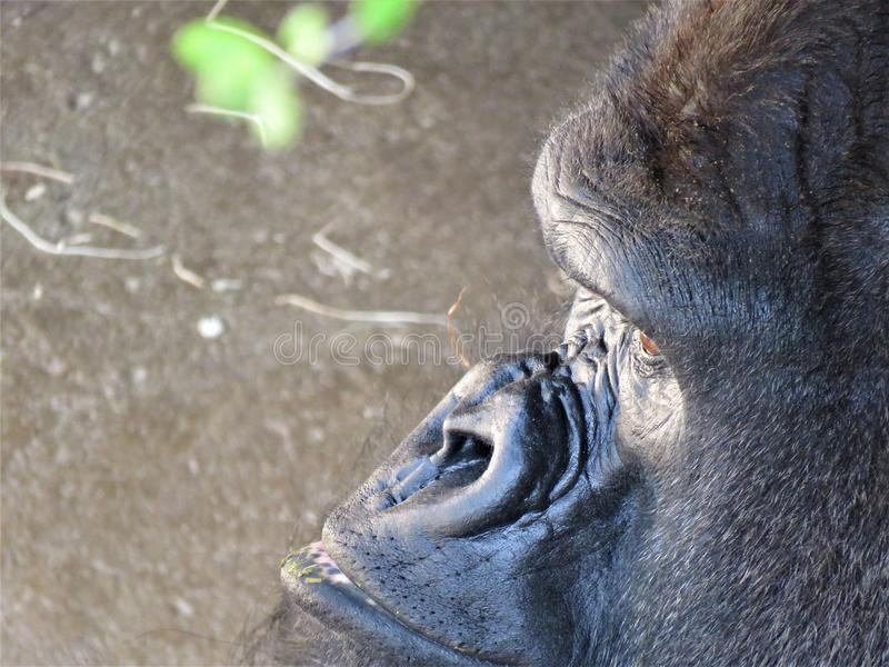 西部凹地大猩猩外形 免版税库存图片