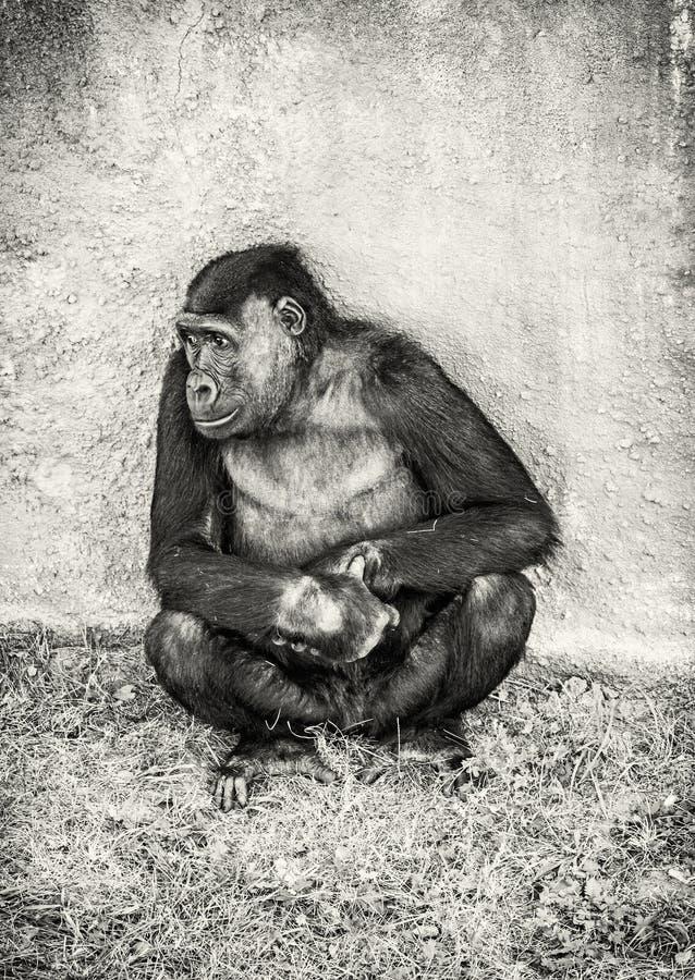 西部凹地大猩猩是摆在,无色 免版税库存图片