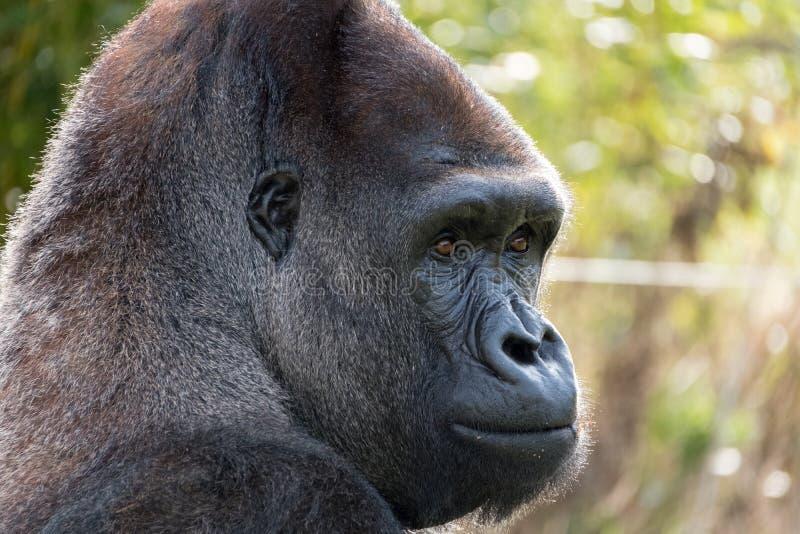 西部凹地大猩猩,成年男性大猩猩外形  拍摄在口岸Lympne徒步旅行队公园在阿什富德肯特英国附近 免版税库存图片