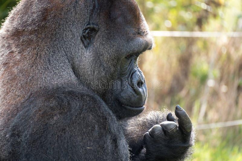 西部凹地大猩猩,成年男性大猩猩外形  拍摄在口岸Lympne徒步旅行队公园在阿什富德肯特英国附近 免版税库存照片