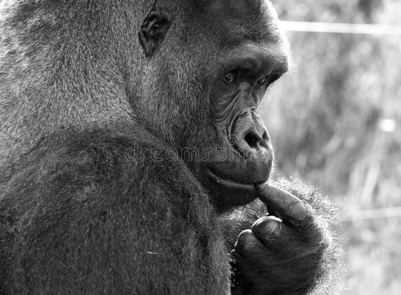 西部凹地大猩猩,成年男性大猩猩外形  拍摄在口岸Lympne徒步旅行队公园在阿什富德肯特英国附近 库存照片