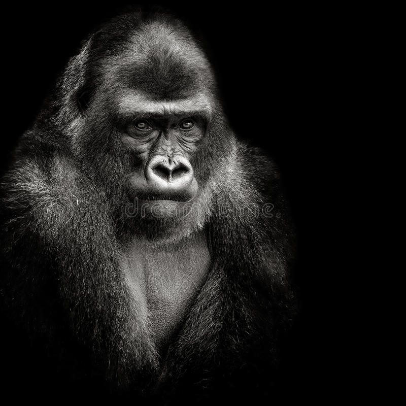 西部大猩猩的低地 免版税库存图片