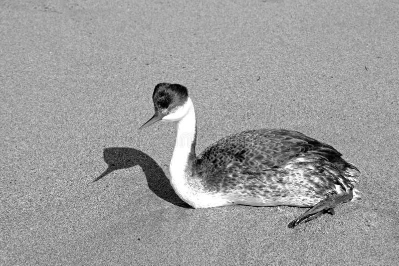 西部格里布和阴影在海滩在维特纳加利福尼亚黑白的美国- 免版税库存照片