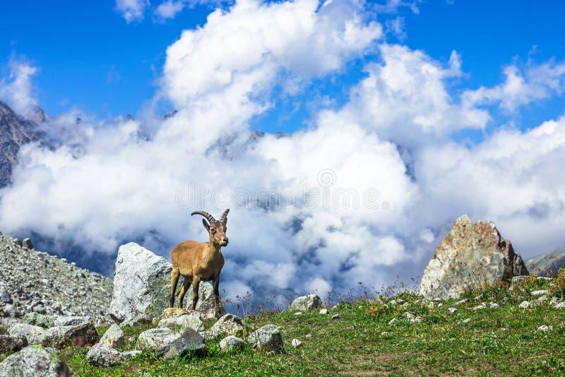 西部白种人tur (拉特 山羊属caucasica) 免版税库存照片