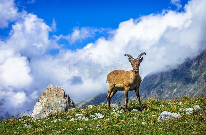西部白种人tur (拉特 山羊属caucasica) 免版税图库摄影