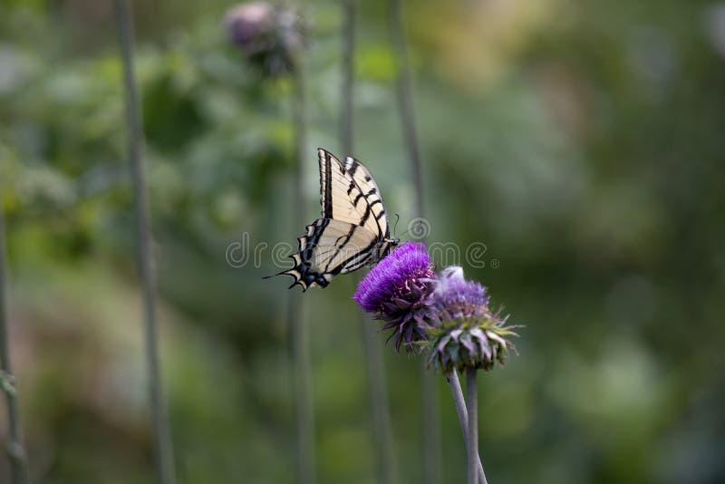 西部老虎在一株黑暗的紫色犹他蓟的Swallowtail Nectaring 库存照片