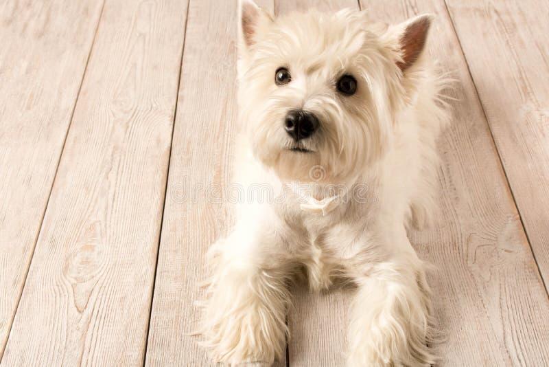 西部说谎在一个木地板上的高地白色狗 ?? 库存图片