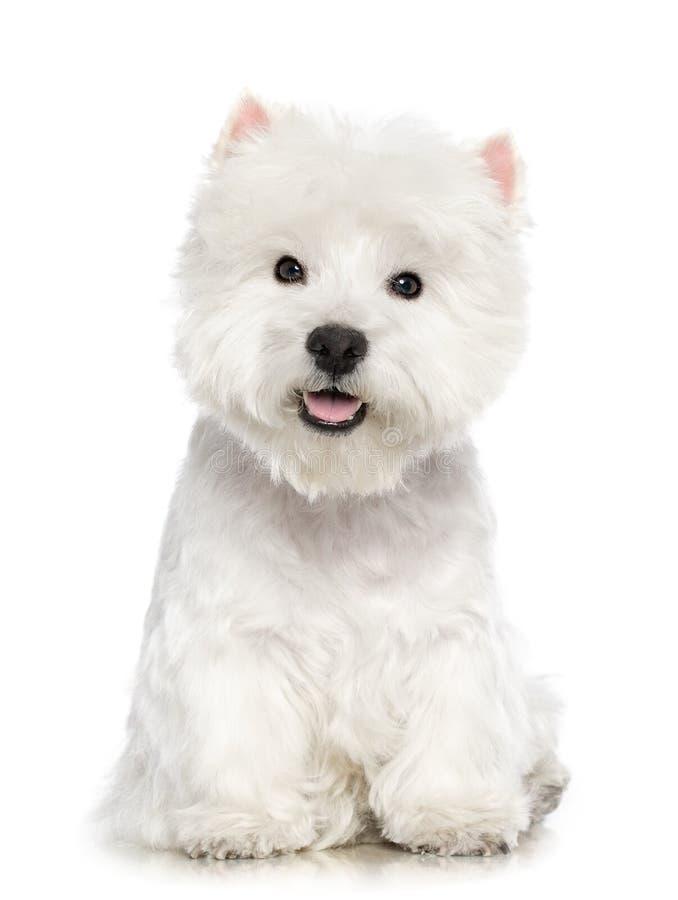 西部高地在白色背景隔绝的白色狗狗 库存图片