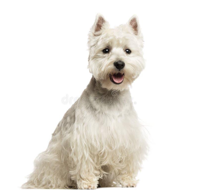 西部高地白色狗气喘,坐, 18个月 免版税库存照片