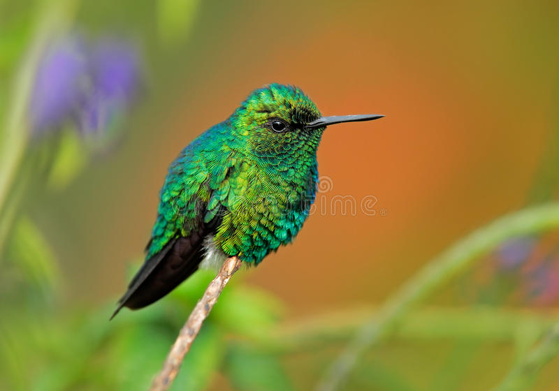 西部绿宝石, Chlorostilbon melanorhynchus,蜂鸟在哥伦比亚热带森林里,蓝色在自然的一只绿色光滑的鸟 库存照片