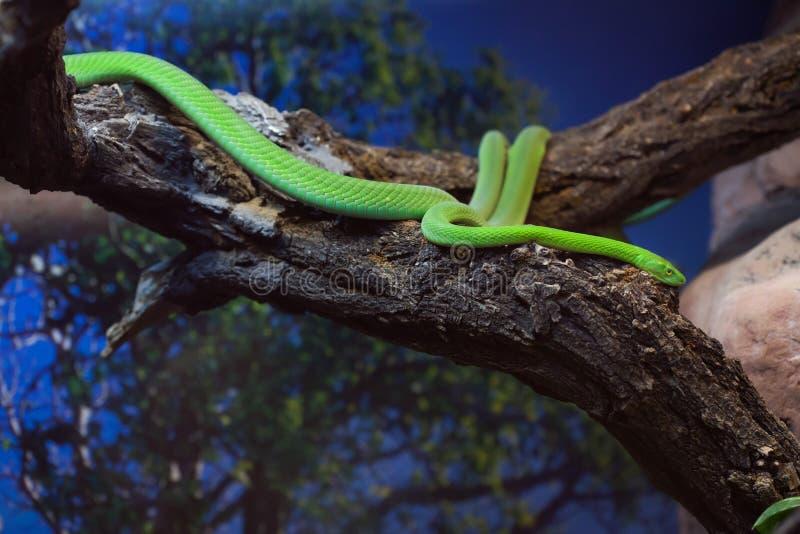 西部绿眼镜蛇(Dendroaspis viridis) 免版税库存照片