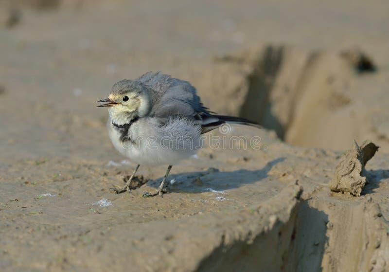 西部黄色令科之鸟(Motacilla flava) 图库摄影