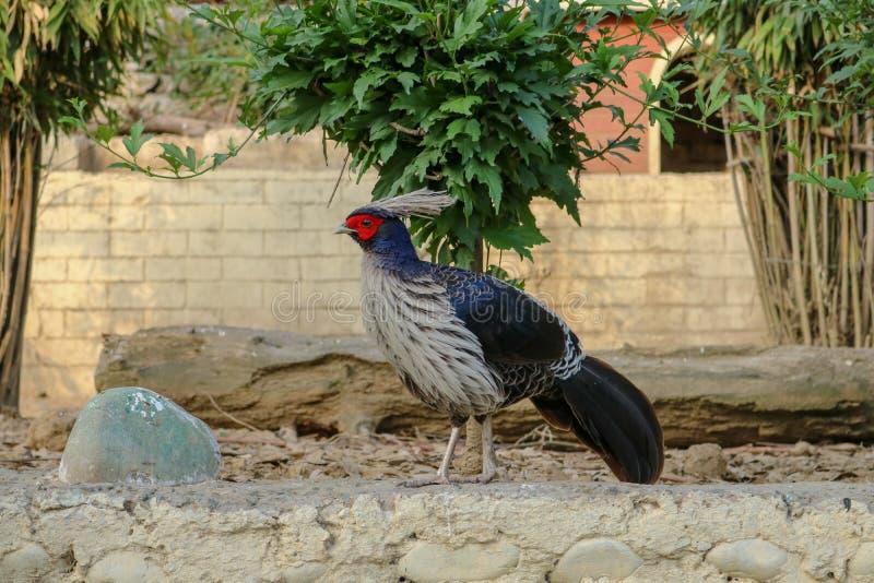 西部Tragopan鸟,西姆拉,印度 库存照片