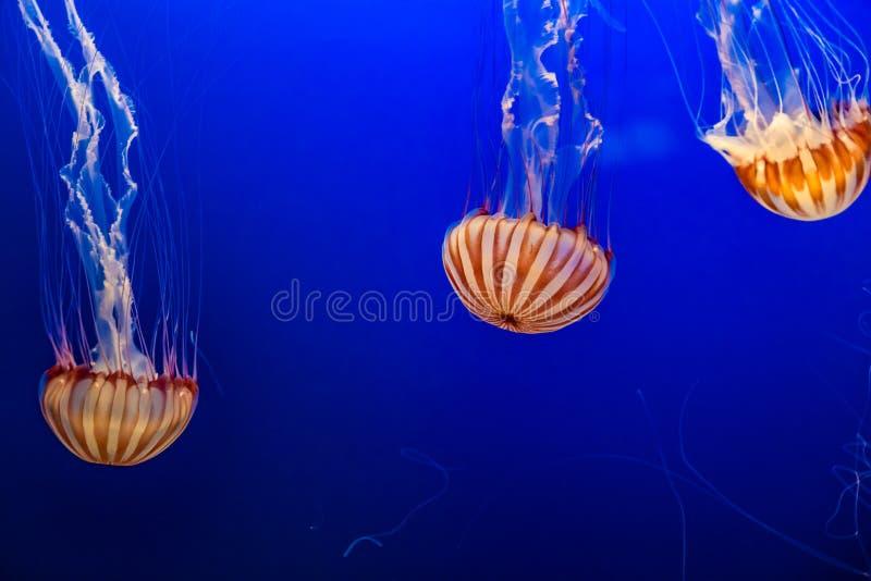 西非海荨麻在奥马哈亨利杜尔利动物园里 库存照片
