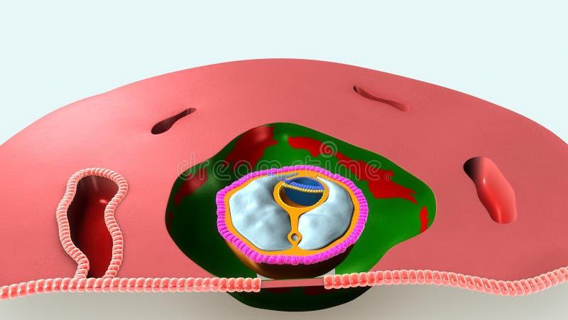 主要胚叶 向量例证