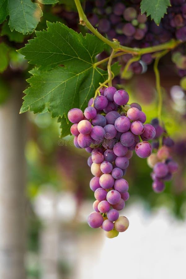 主要葡萄 免版税库存图片