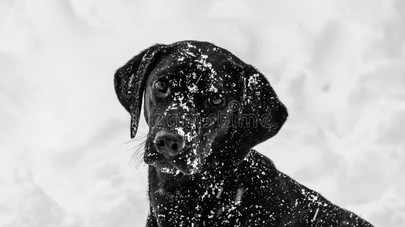 要黑拉布拉多的狗使用在雪 免版税图库摄影