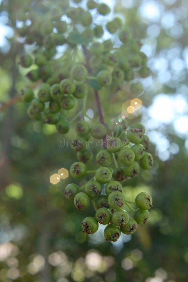 要-是莓果在亚利桑那沙漠 免版税图库摄影