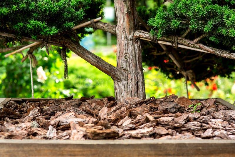 覆盖树根关闭的吠声树  免版税库存照片