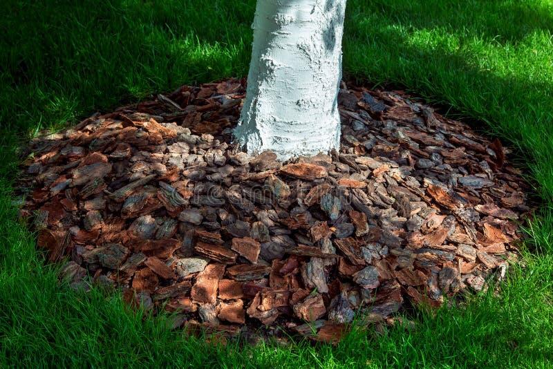 覆盖树根在一个被粉刷的树干附近的树皮 免版税库存照片