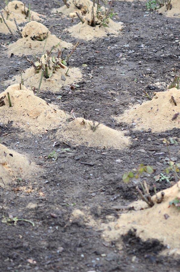 覆盖树根玫瑰丛 很多播种的玫瑰丛撒布与木锯木屑和词根保存的在冬天 库存照片