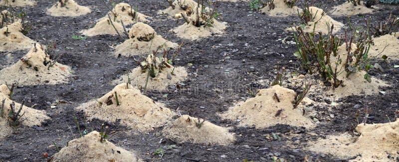覆盖树根玫瑰丛 很多播种的玫瑰丛撒布与木锯木屑和词根保存的在冬天 免版税库存图片