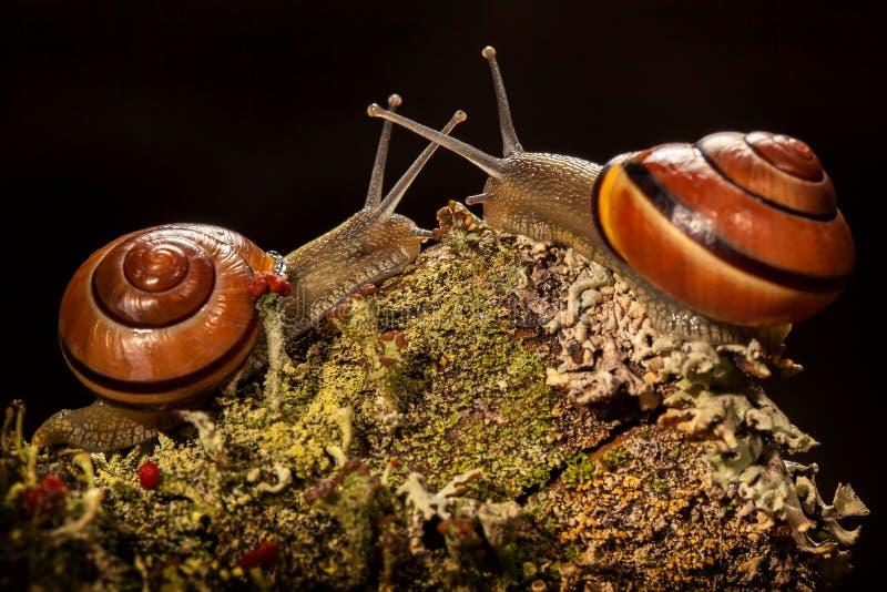 见面在小山的两只蜗牛在深黑色背景中 免版税库存图片