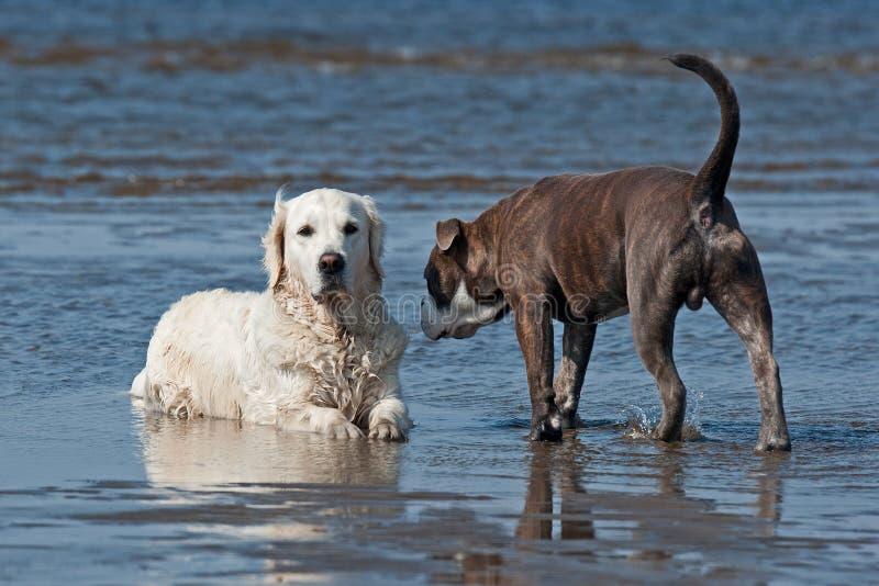 见面在海滩的狗 免版税图库摄影