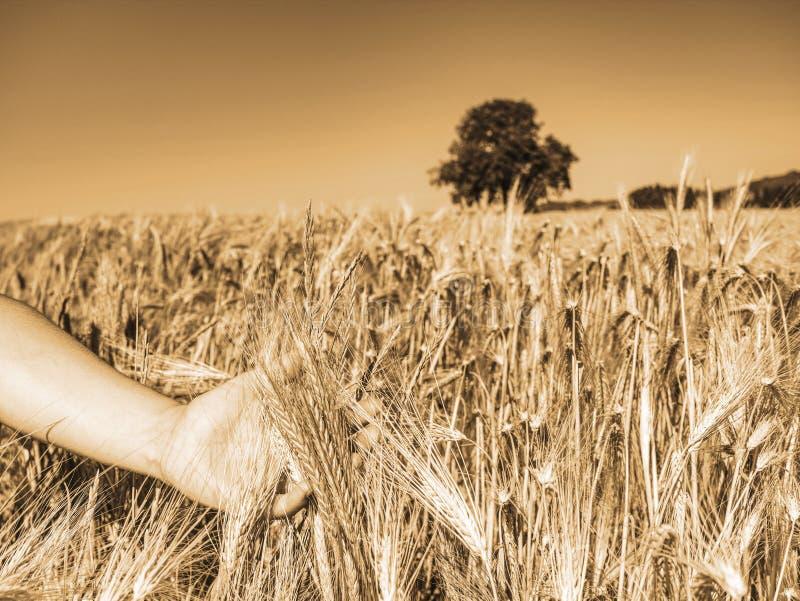 观察进展的大麦的女性农夫手接触耳朵 免版税库存照片