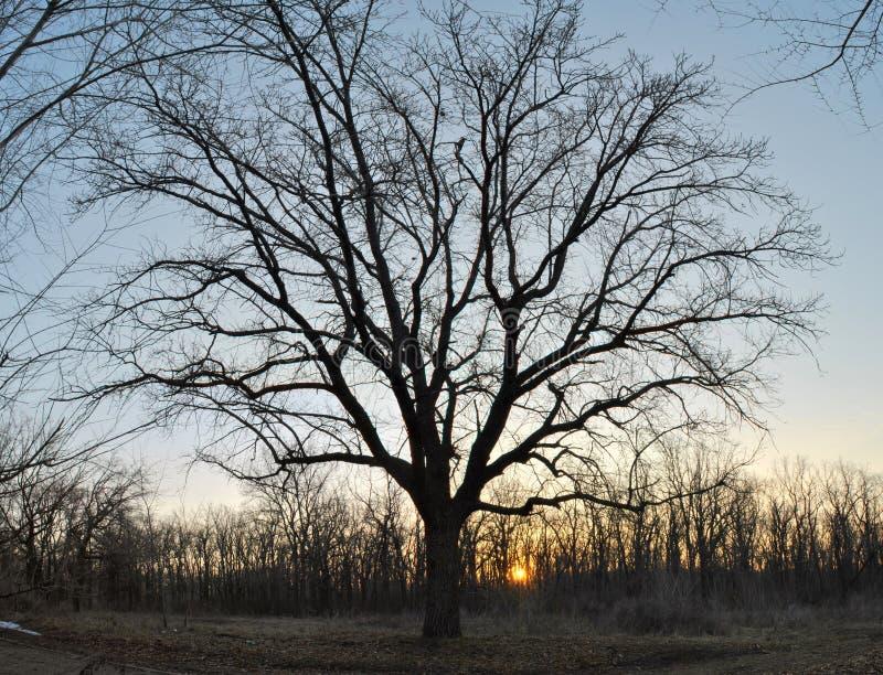 观点的一棵巨大的橡木在黎明天空的背景的森林里 免版税库存照片