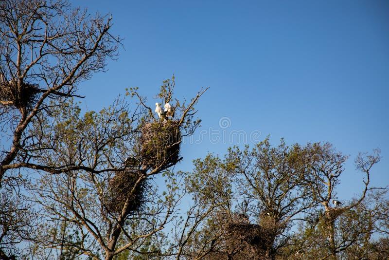 观点的在它的巢的一只成人鹳与明亮的天空蔚蓝 库存照片