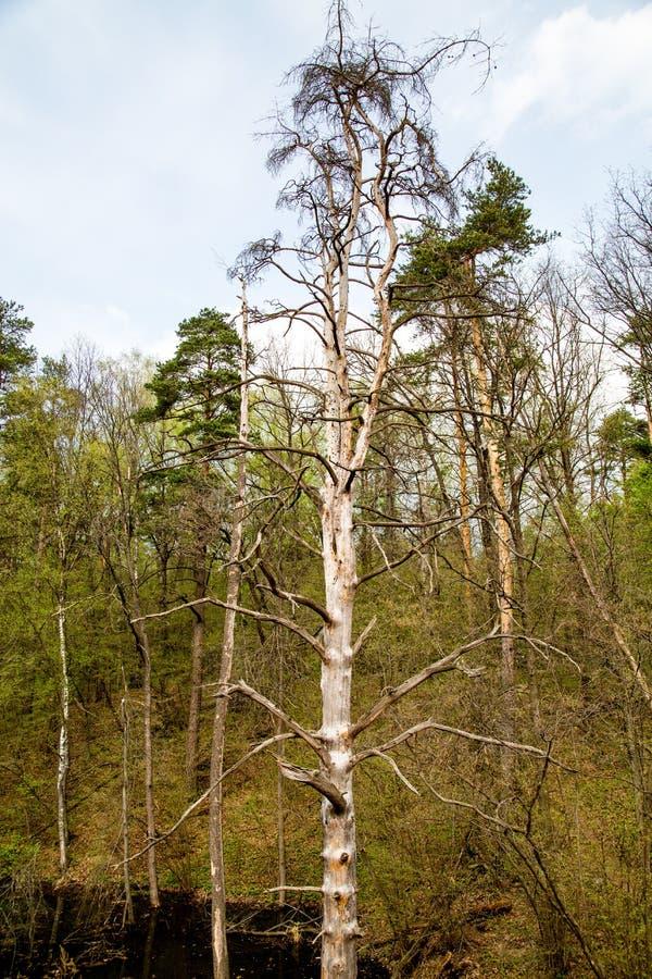 观点的在绿色树和草背景的干燥杉木  免版税库存图片