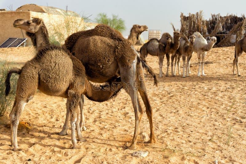 观点的有她的小牛和其他骆驼的骆驼妈妈在撒哈拉大沙漠,突尼斯 免版税库存图片