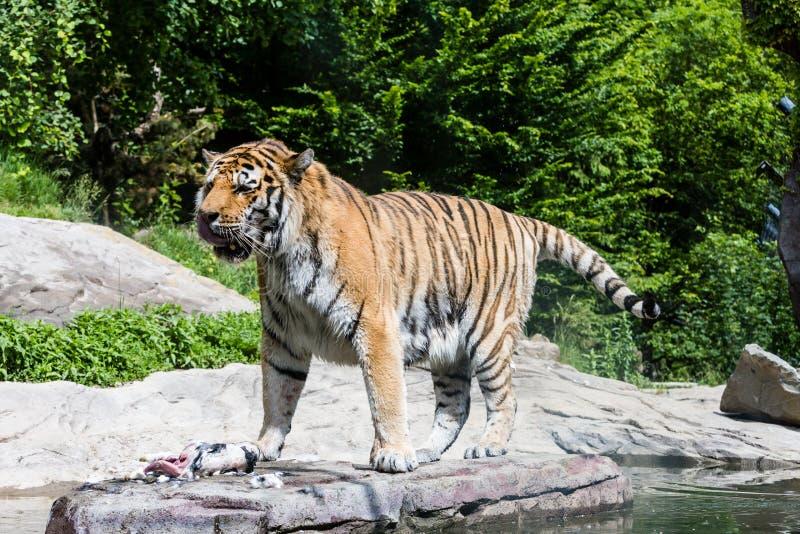 老虎的兔子在瑞士动物园里.观点,agiler.竹子吃仓鼠图片