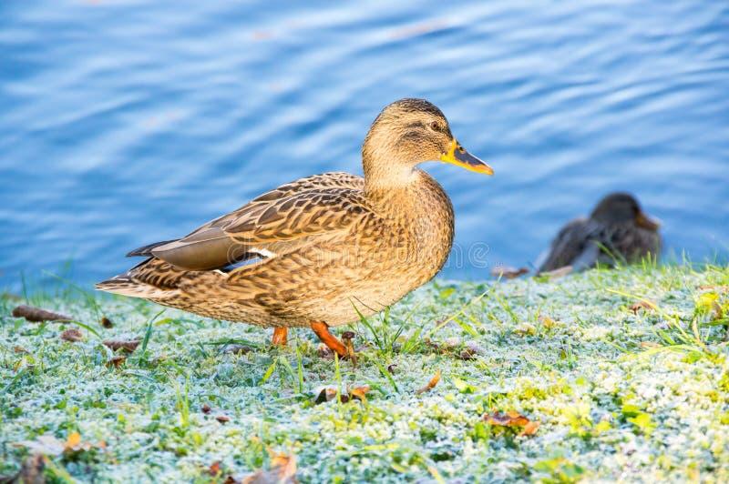 观点的野鸭鸭子 免版税图库摄影