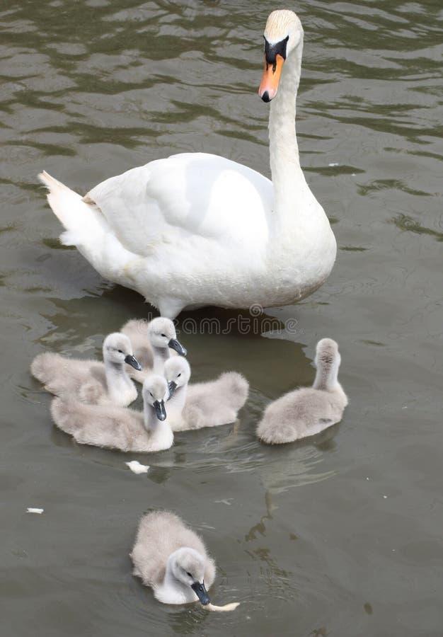 观看严密地在她的6小天鹅的疣鼻天鹅母亲,当他们在面包时设法哺养剥落 免版税图库摄影