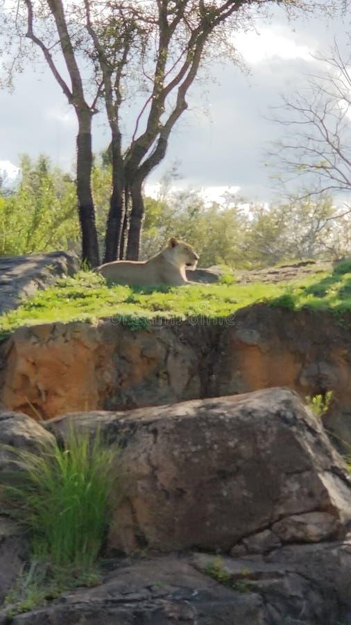 观看在她的土地的雌狮 库存图片