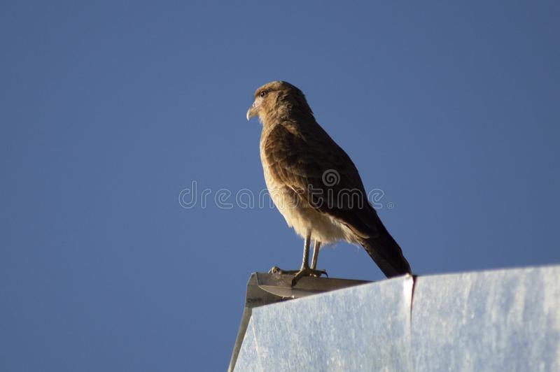 观看在屋顶的奇曼戈CARCARA 库存照片
