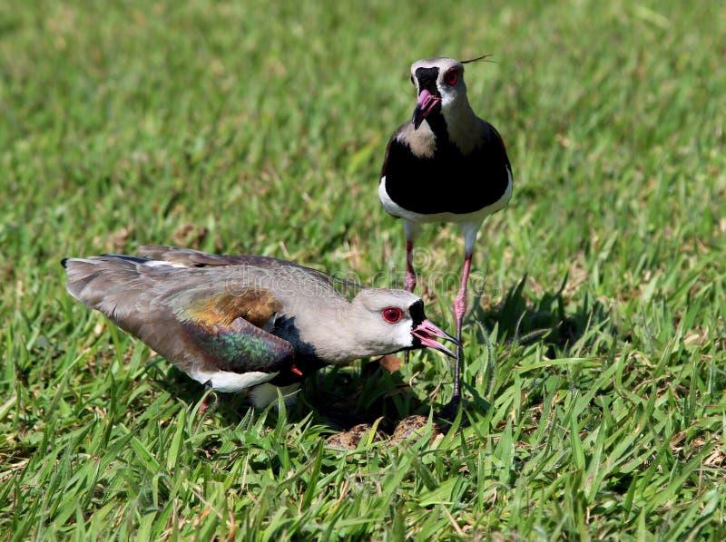 观看在巢的双重鸟欧亚田凫类chilensis鸡蛋 库存照片
