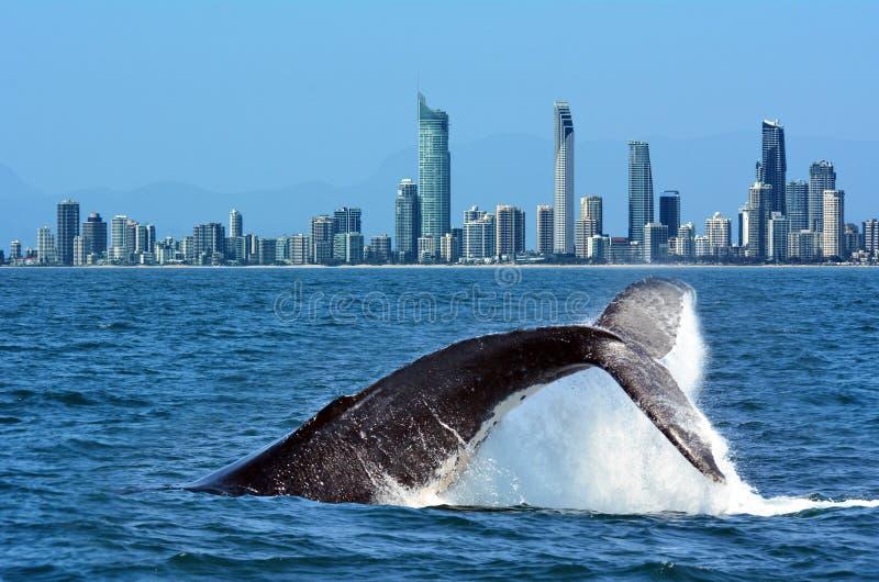 观看在英属黄金海岸澳大利亚的鲸鱼 免版税图库摄影