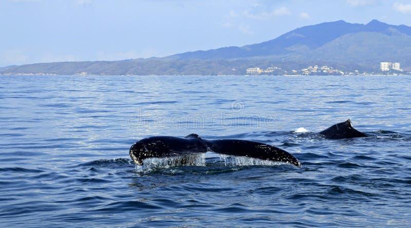 观看在巴亚尔塔港的鲸鱼 免版税库存照片