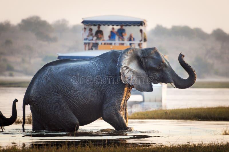 观看大象的游人穿过一条河在乔贝国家公园在博茨瓦纳,非洲 免版税库存照片