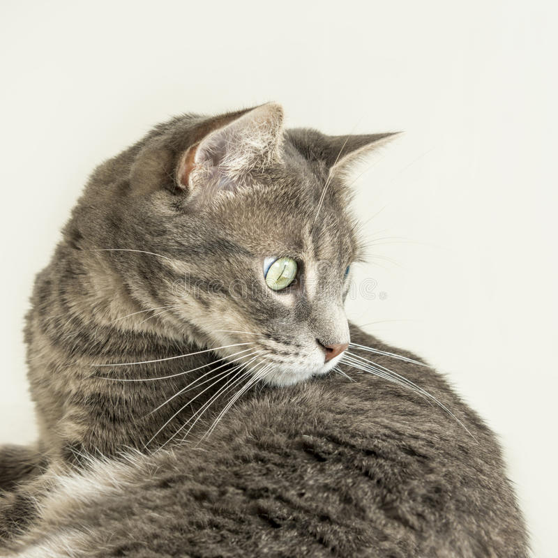 观看昆虫(狩猎天性)的幼小虎斑猫 免版税库存照片