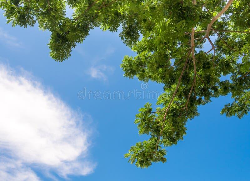 观看由天空决定在雨豆树下 免版税库存图片
