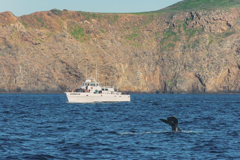 观看的鲸鱼,海峡群岛国家公园 免版税库存照片