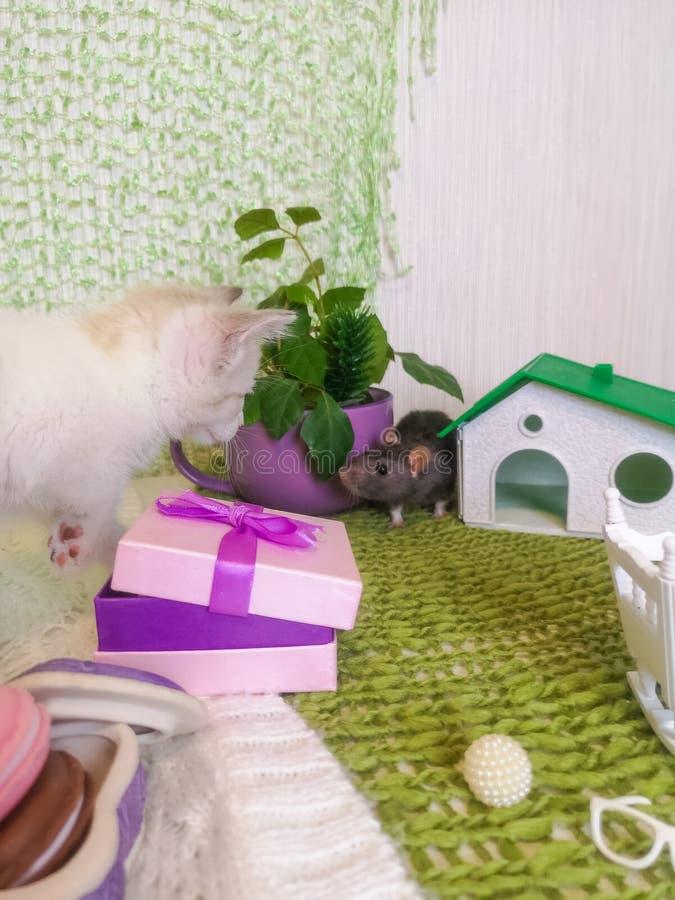 观看老鼠的小猫 白色猫看灰色老鼠 库存图片